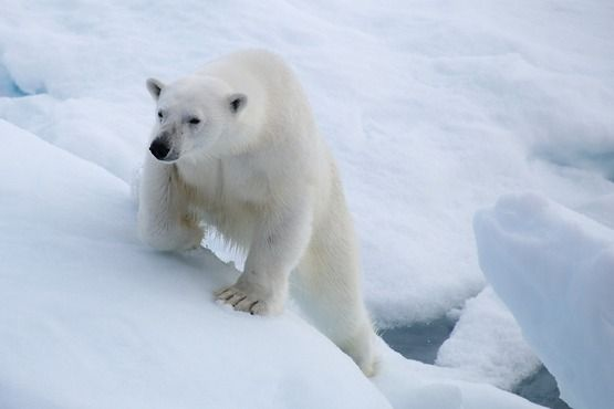 Polar bear at Spitsbergen