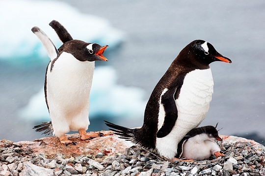 Континент Антарктида пингвины