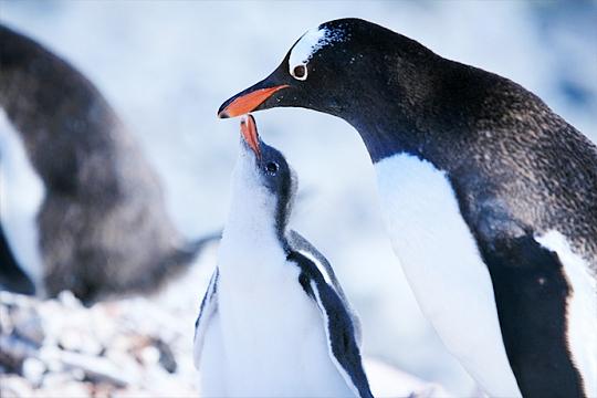 Пингвины Антарктиды