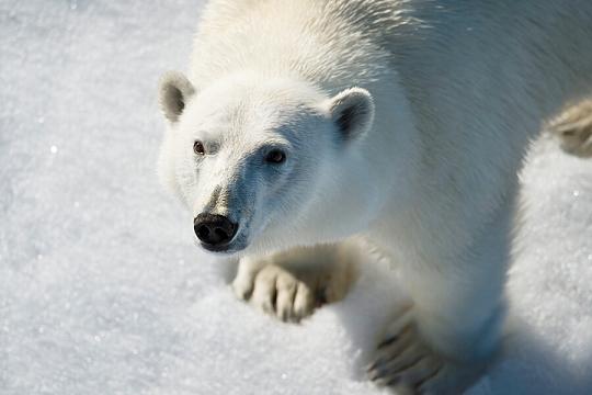 Земля Франца-Иосифа белый медведь