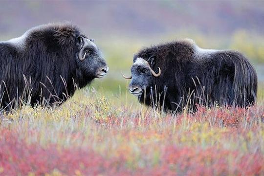 Восточная Гренландия животные